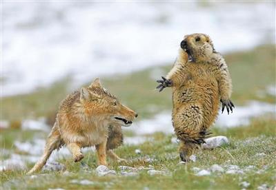 野生动物让祁连山呈现野性之美