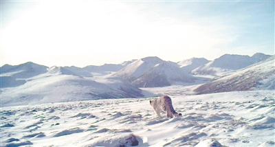 西宁地区首次拍摄到雪豹清晰影像