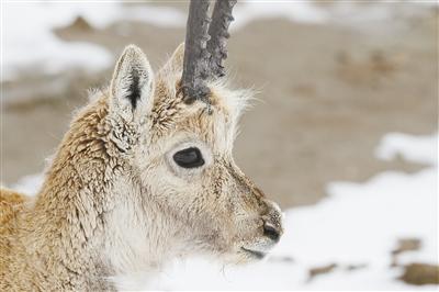 歷盡艱辛只為繁衍生命——2020藏羚羊大遷徙現場報道之二