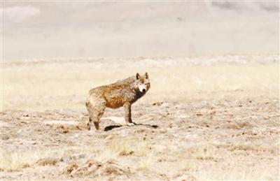 海拔4600米的生命急救——2020藏羚羊大遷徙現場報道之三