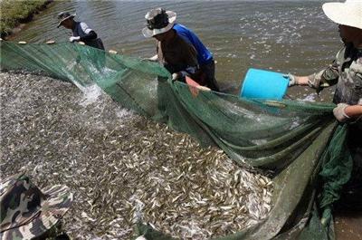 今年1600万尾裸鲤鱼苗游入青海湖