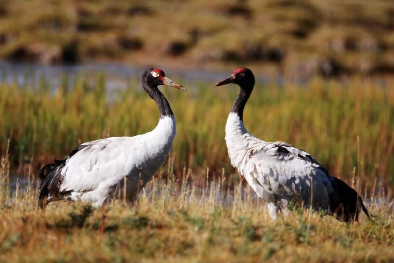 玉樹:嘉塘草原首次拍攝到黑頸鶴繁育幼鶴