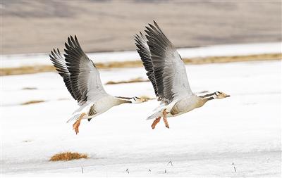 长江源斑头雁数量增至1600余只