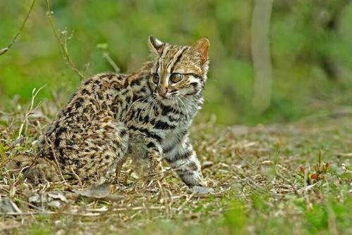 祁连山国家公园青海片区分布较高密度的荒漠猫种群
