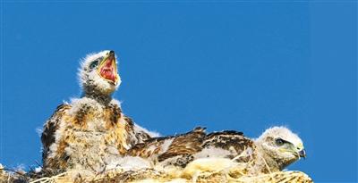 【三江源,我們的國家公園】鷹的王國