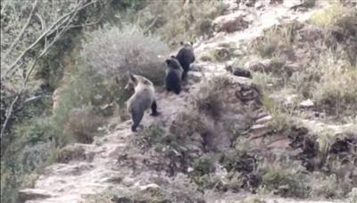 三江源地區發現罕見藏棕熊