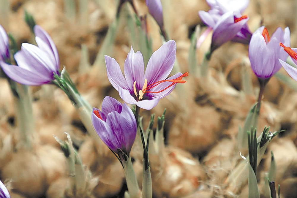 藏紅花:開花吐蕊助增收