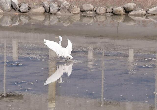连续三年,大白鹭光顾南川河