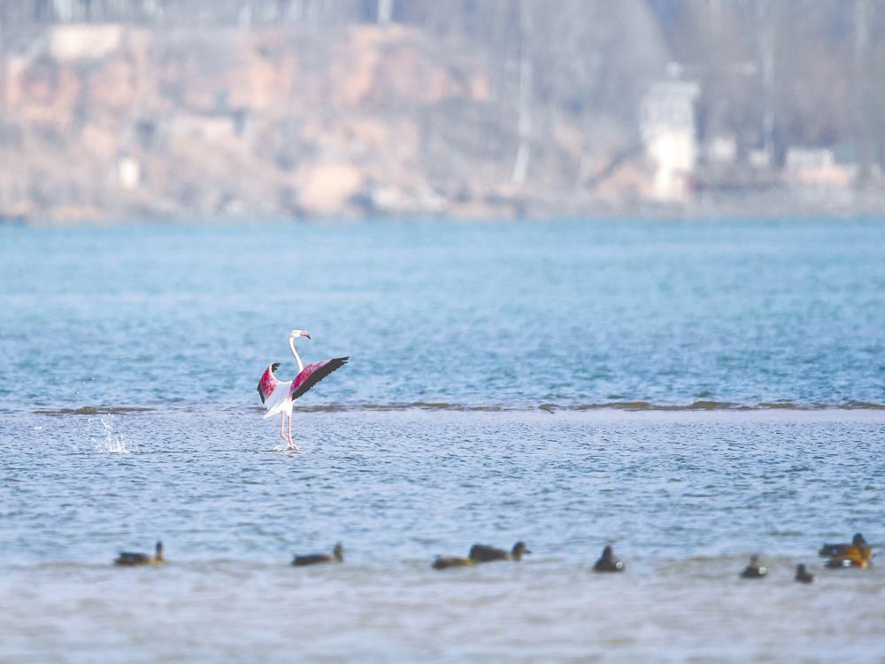 火烈鸟现身黄河上游