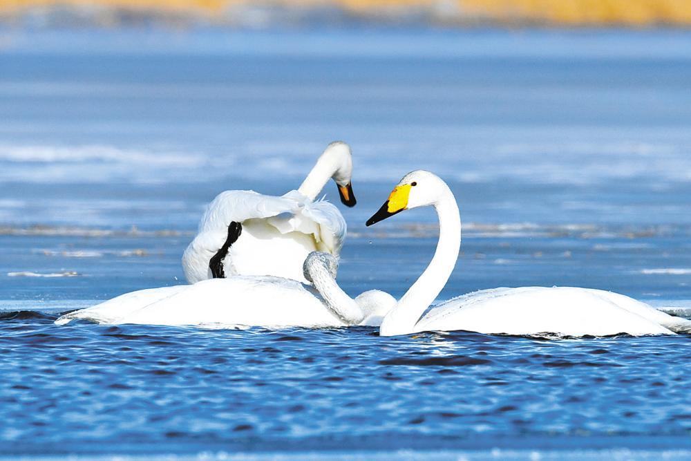 眾多鳥類在魚水河區域濕地駐足覓食