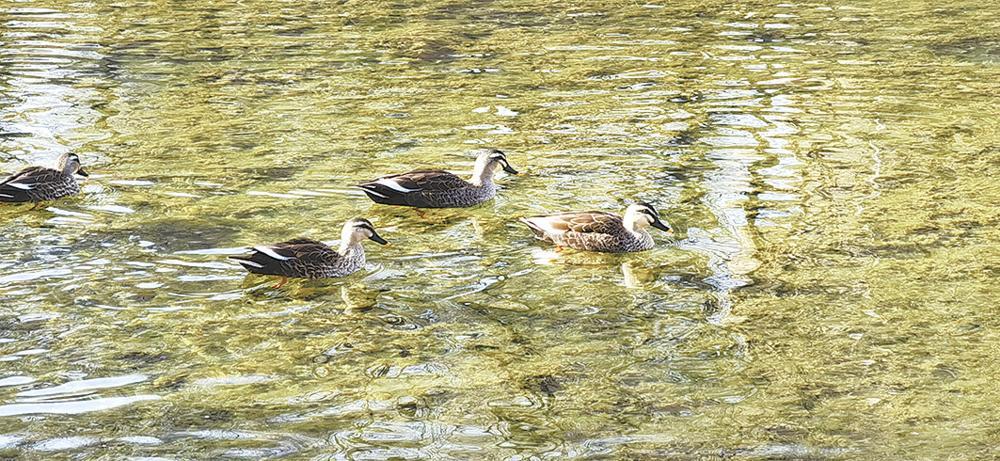野鴨在湖面上游弋覓食