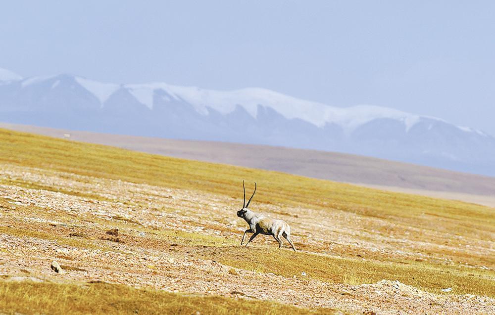可可西里:藏羚羊的天堂