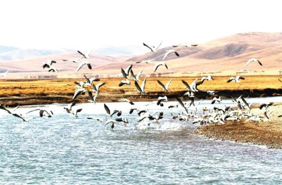 首批黑颈鹤飞抵嘉塘草原