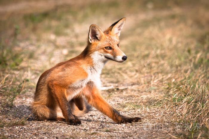 祁連山國家公園青海片區抓拍到六只赤狐同框畫面