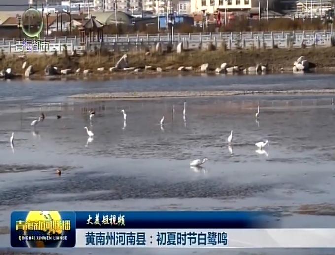 【大美短视频】黄南州河南县:初夏时节白鹭鸣