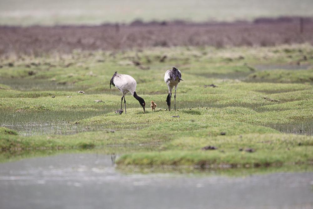 黄南藏族自治州河南蒙古族自治县草原成为了许多候鸟生活的天堂