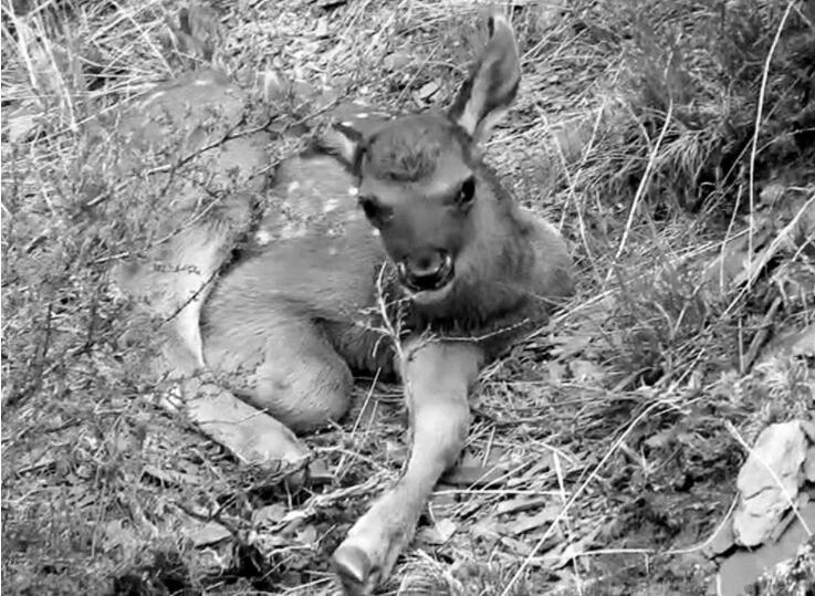 长江源园区拍到两只小白唇鹿影像