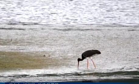 世界濒危珍禽黑鹳连续多年现身互助南门峡
