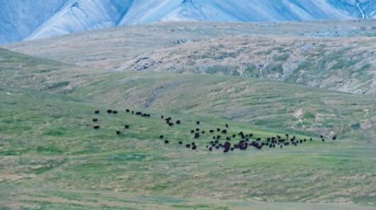 百头野牦牛现身三江源国家公园
