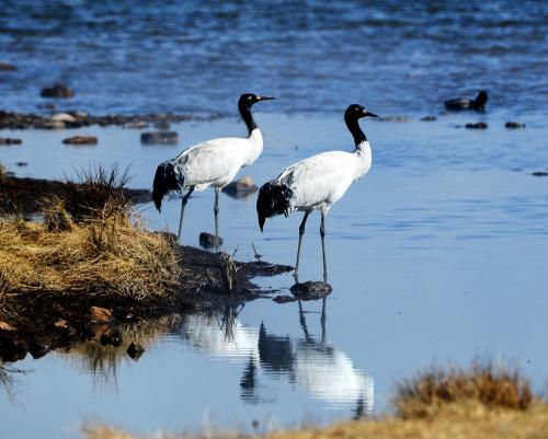 黄河源头首次近距离拍摄到黑颈鹤孵化影像
