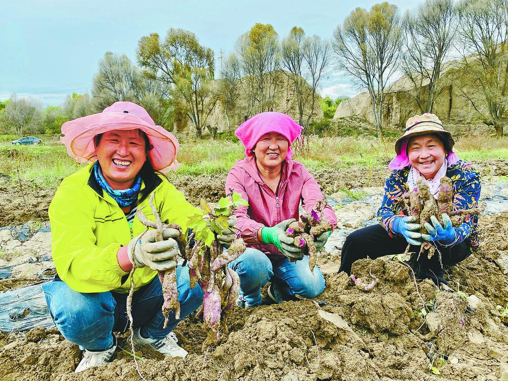 贵德县拉西瓦镇紫薯喜获丰收