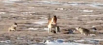 黄河源头:狼群围猎藏野驴